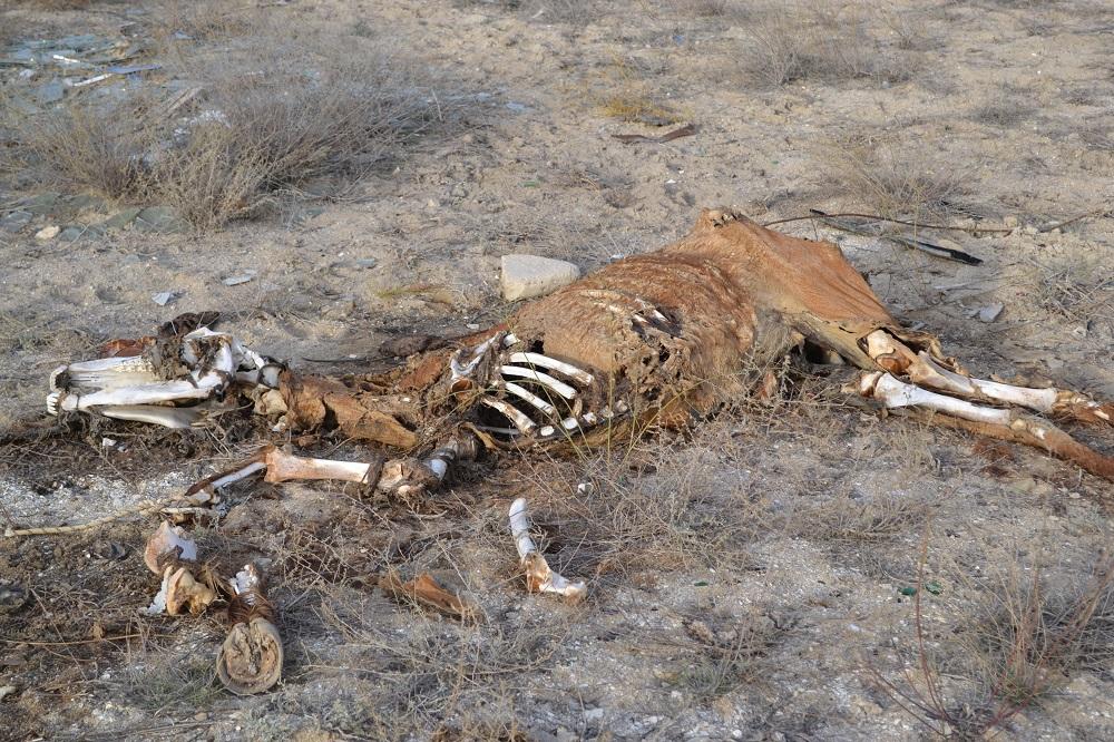 Останки крупного домашнего скота обнаружили у поселка Умирзак
