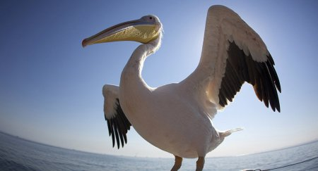 """Краснокнижный пеликан """"упал с неба"""" в один из дворов Костаная"""