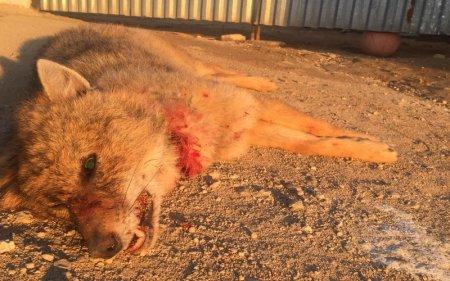 Возможно, красный волк напал на троих жителей Мангистау