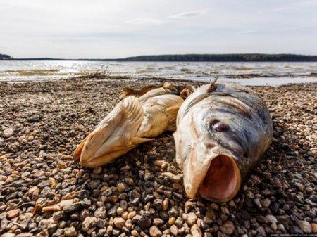 Пять тонн красной рыбы погибло в Урале