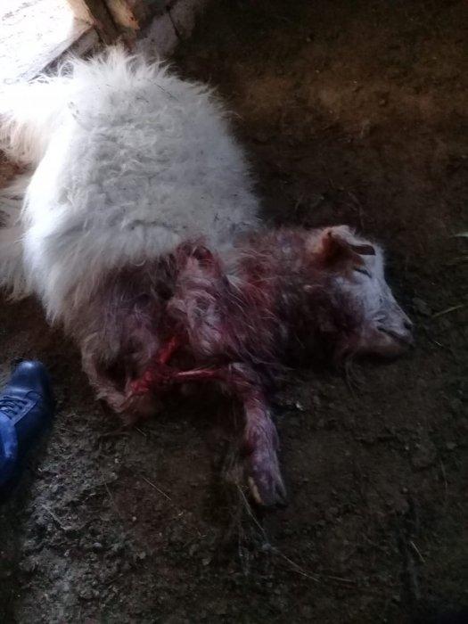 Жители села Атамекен пожаловались на нападения на домашний скот