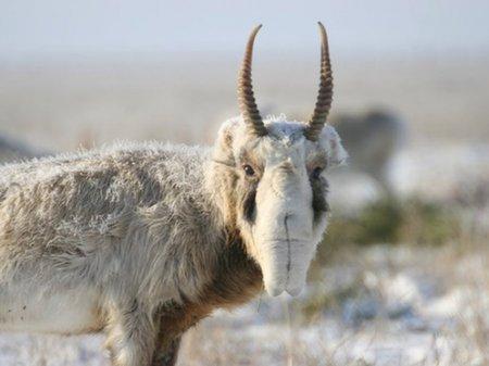 Подозреваемые в отстреле более сотни сайгаков браконьеры задержаны в Казахстане