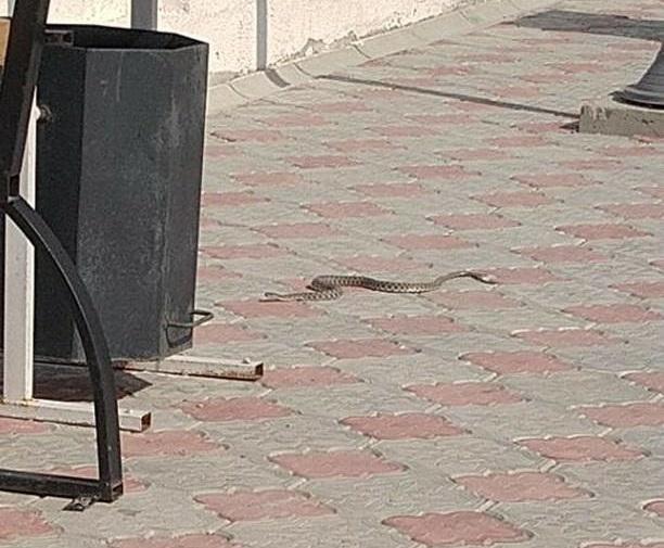 Жители Актау обеспокоены большим скоплением змей на городской набережной