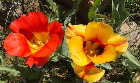 Штраф в 7 млн тенге грозит за срыв тюльпанов в Туркестане