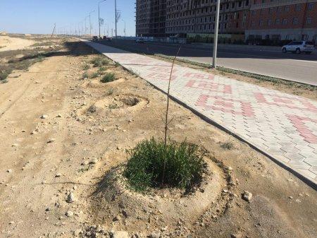 Хушид Акрамходжаев: Павловнии в Актау выдержали зиму