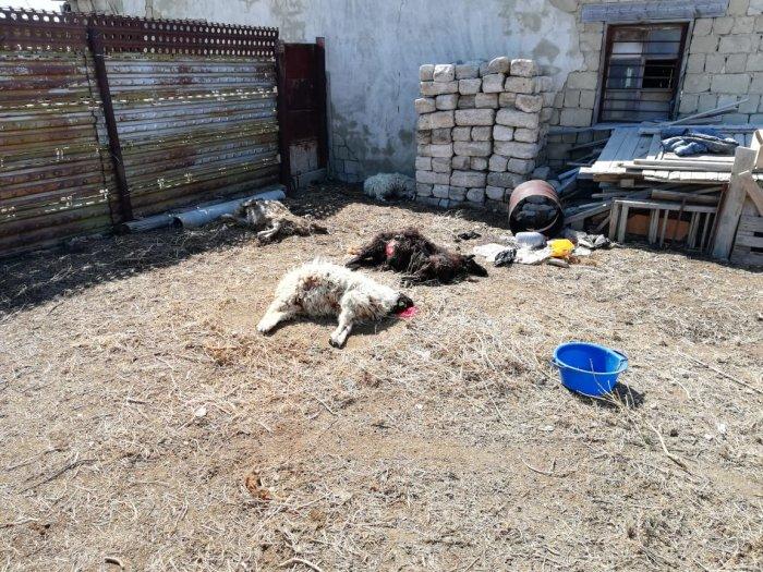 Невиданный зверь: Жители Атырау установили убийцу домашнего скота