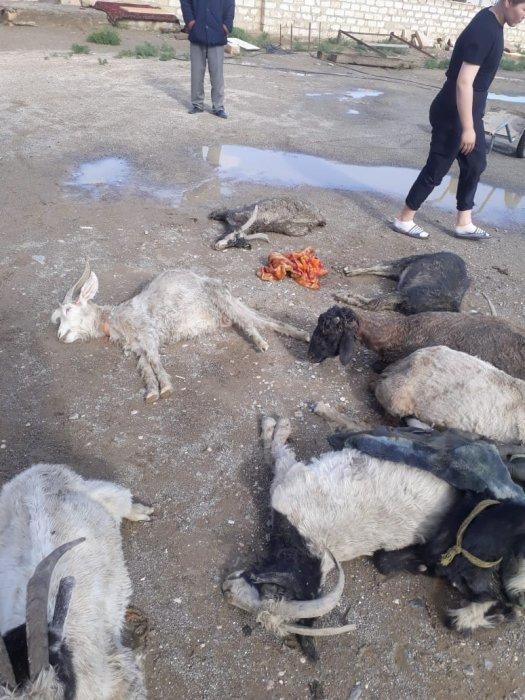 В селе Уштаган градом убило домашний скот