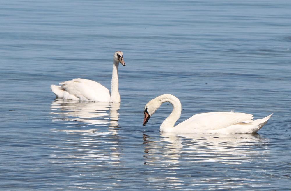 Возле набережной 15 микрорайона два лебедя