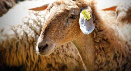 Две тысячи овец редкой породы погибли от неизвестной болезни на западе Казахстана