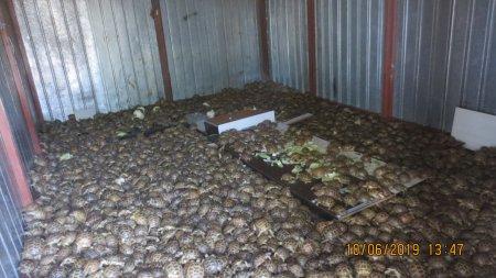 В Россию из Казахстана пытались ввезти более четырех тысяч черепах под видом капусты