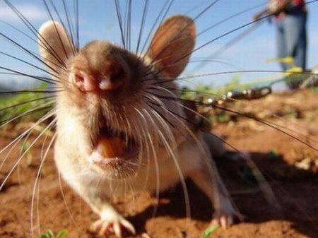 Крысы атакуют окраины Шымкента