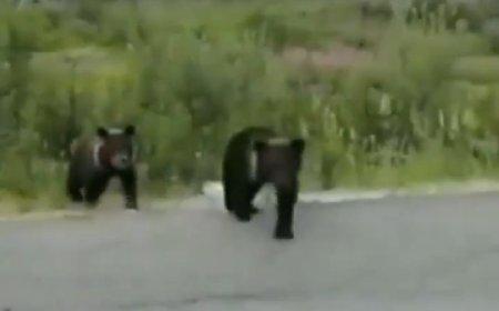 Дикий медведь влепил оплеуху назойливому водителю на Ямале
