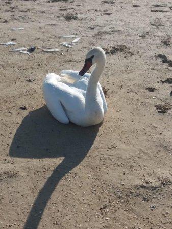 Лебедей нашли жители Мангистау в степи