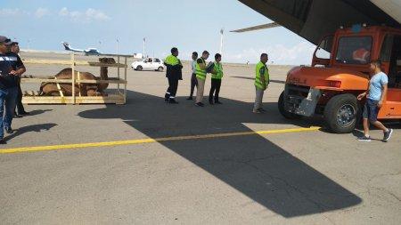 Верблюды в самолёте: Необычных пассажиров отправили из аэропорта Актау