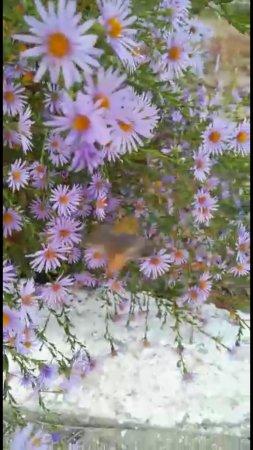 Бабочка Бражник ВИДЕО