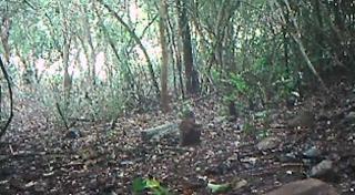 В джунглях Вьетнама засняли зверя, который давно считался исчезнувшим