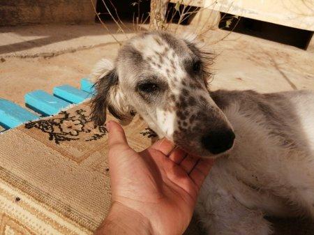 Найдена охотничья собака тазы ВИДЕО