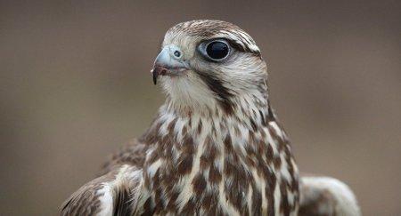 Сокол-балобан станет птицей года в Казахстане