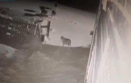 Заступился за друга: смертельная схватка собак со стаей волков попала на видео