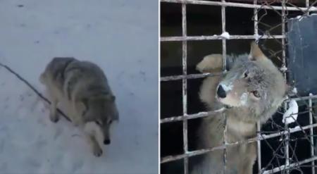 Волчат держат во дворе частного дома в Карагандинской области