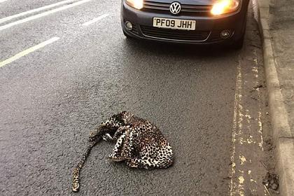 Мужчина принял шубу на обочине за раненого леопарда