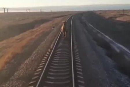 Российский поезд опоздал из-за бегущего по путям верблюда