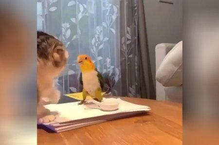Дележка еды котом и попугаем закончилась эпичной битвой