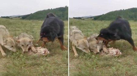 Тибетский мастиф, защищающий пожилого волка и его добычу от голодной стаи, стал героем невероятного видео