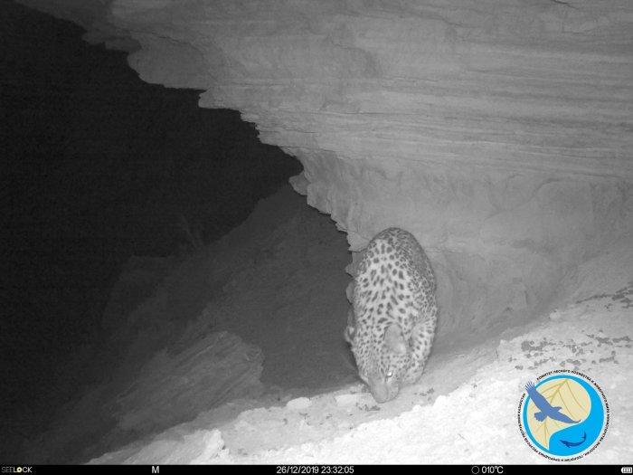 Фотоловушка в Устюртском заповеднике вновь запечатлела леопарда