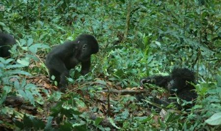 BBC выпустили ролик, в котором показали, как поместили в джунгли робота-детеныша гориллы — чтобы заснять реакцию стаи
