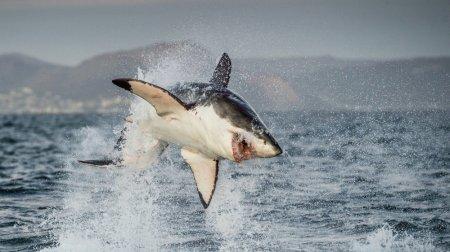 Охоту китов-убийц на акулу-людоеда засняли на видео