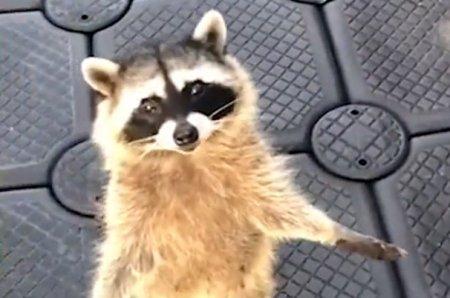 Умоляющего о сладком угощении енота сняли на видео