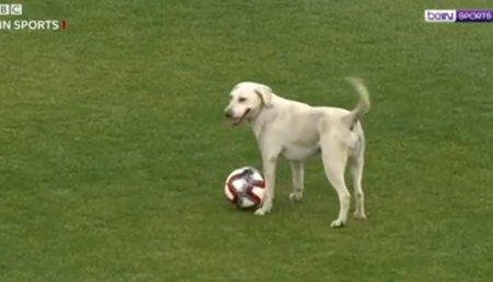 Лабрадор выбежал на футбольное поле. Что произошло с собакой дальше