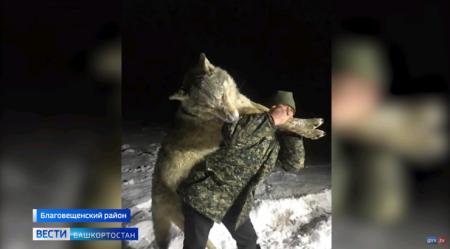 Волк-гигант размером с человека попался в Башкирии