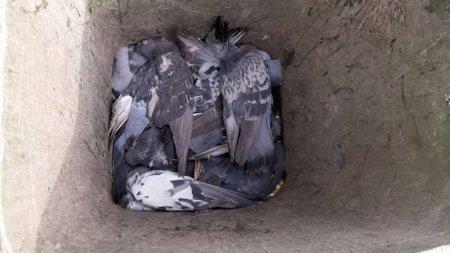 Названа предварительная причина падежа голубей в алматинском парке