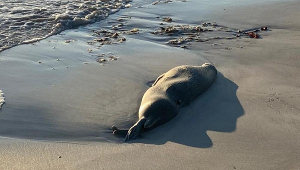 Мёртвых тюленей выбросило на берег в Актау