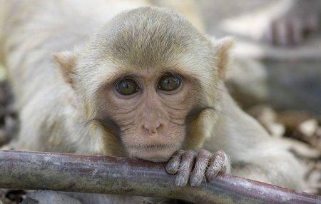 Вакцину от коронавируса успешно испытали на обезьянах