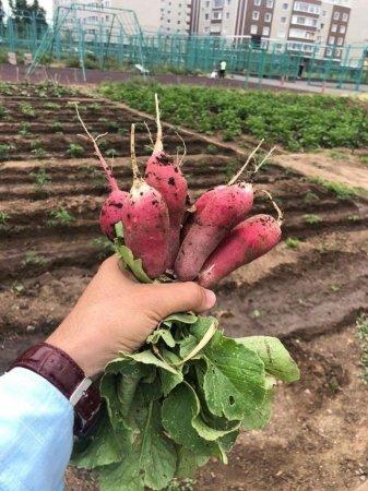 Огород в центре Нур-Султана: кто посадил картошку на левом берегу