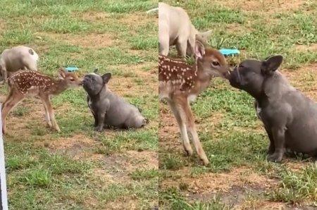 Страстные поцелуи бульдога и олененка попали на видео и восхитили интернет