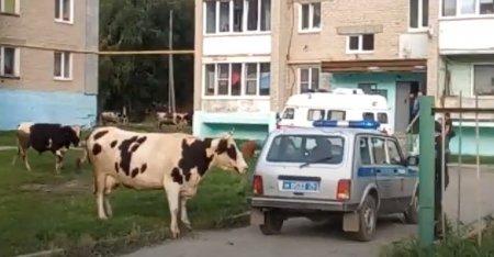 Коровы напали на полицейского во дворе жилого дома