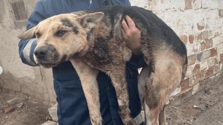 Собака, которую водитель протащил по улицам Атырау, чудом осталась жива