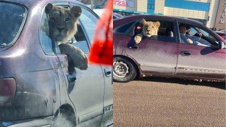 Лев в машине: в Минэкологии разобрались в ситуации