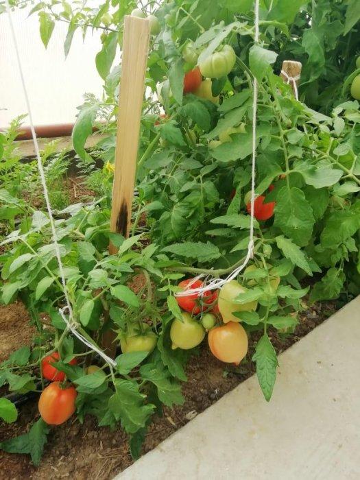 Школьники села Боранкул Бейнеуского района выращивают овощи в теплице