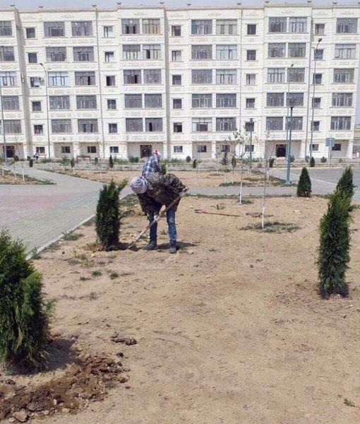 Шашечки озеленителей: На площади «Ынтымак» выкопали деревья и пересадили их в новом микрорайоне Актау