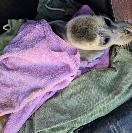 Спасенного детеныша каспийского тюленя выпустили в море
