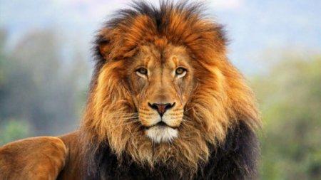 Львы заразились коронавирусом в зоопарке в Индии