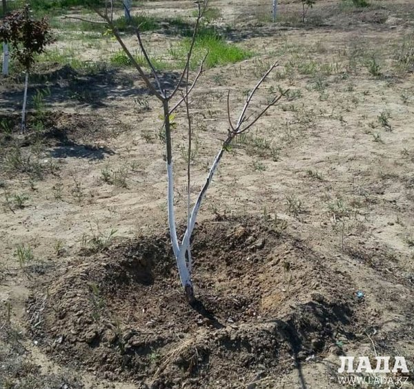Посадили и засушили! Жительница Актау готова сама поливать деревья в парке «Акбота»