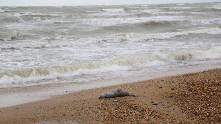 На побережье Каспия обнаружили 150 мёртвых редких тюленей