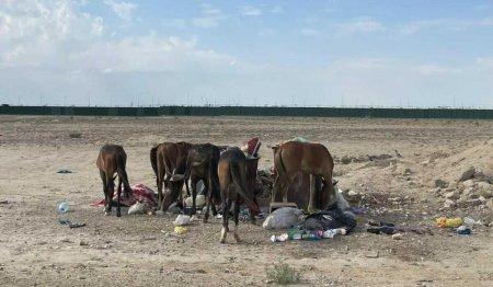 Лошади и верблюды кормятся картоном и помоями в Мангистау