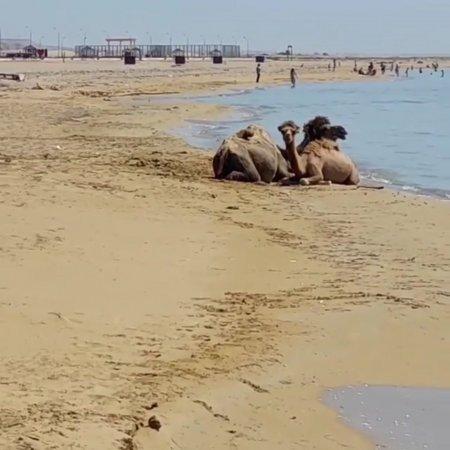 Ничего необычного. Пляж Форт-Шевченко. Когда 42°С, жарко не только людям ВИДЕО